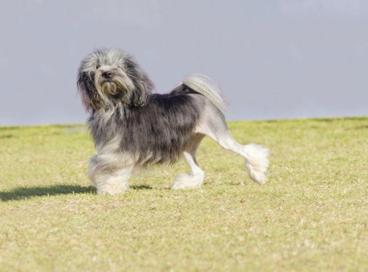Малая львиная собачка фото