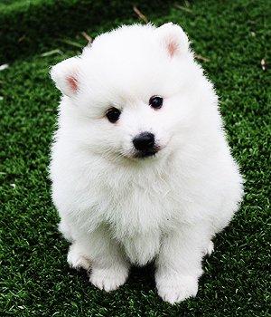 Вольпино итальяно щенки