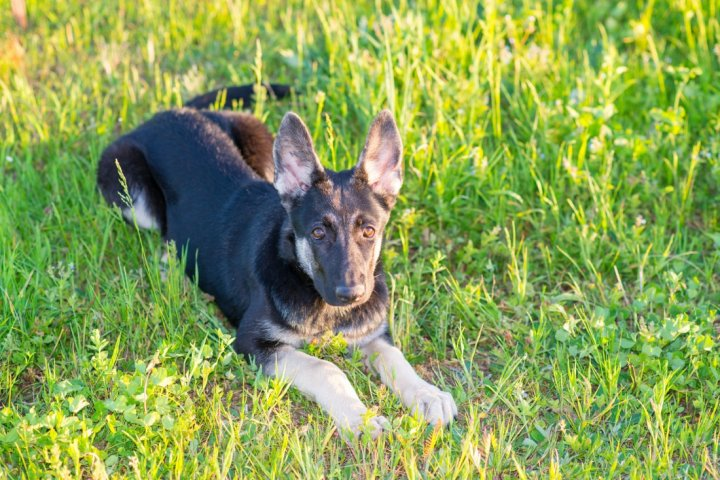 Восточноевропейская овчарка щенки