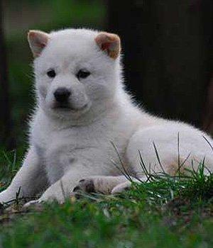 Хоккайдо щенки