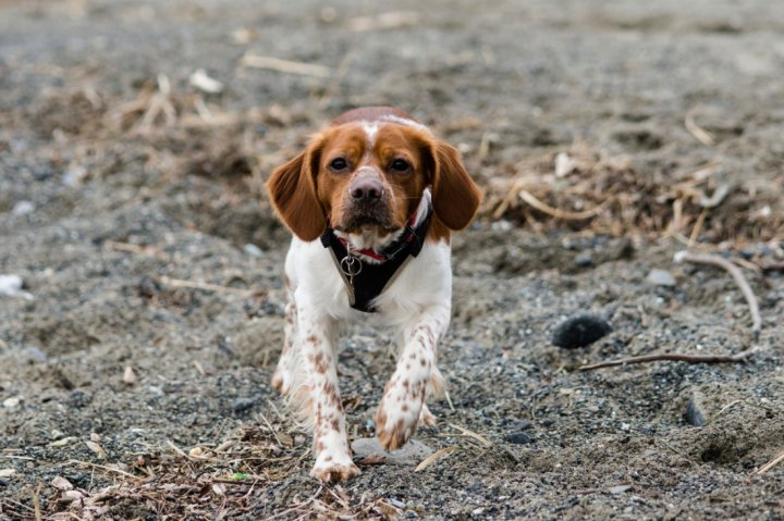 Бретонский эпаньоль щенки