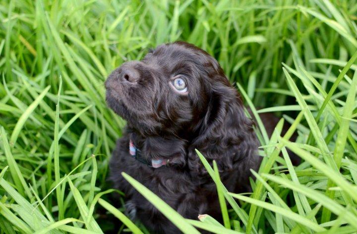 Бойкин-спаниель щенки