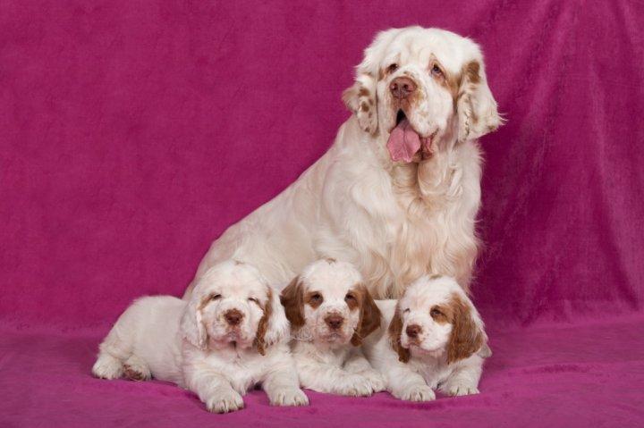 Кламбер-спаниель щенки