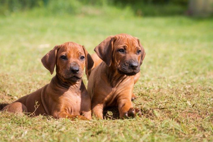 Родезийский риджбек щенки