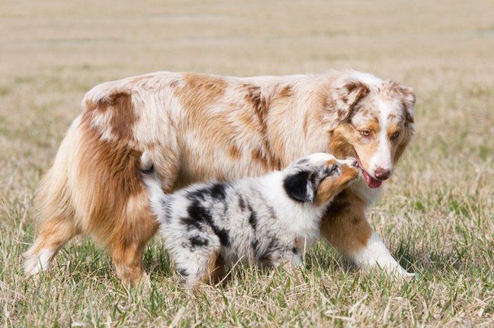 Австралийская овчарка щенки