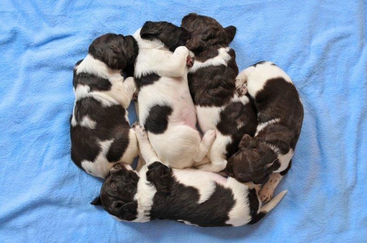 Малый мюнстерлендер щенки
