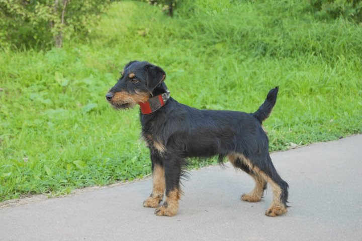 Немецкий ягдтерьер щенки