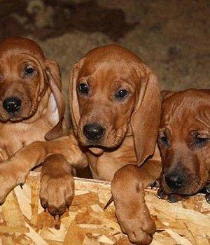 Красный кунхаунд щенки
