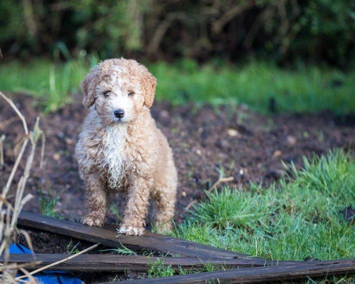 Испанская водяная собака щенки