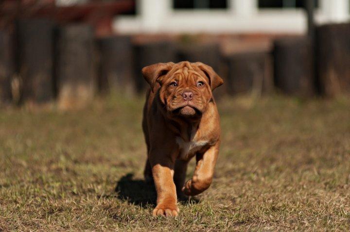 Бордоский дог щенки