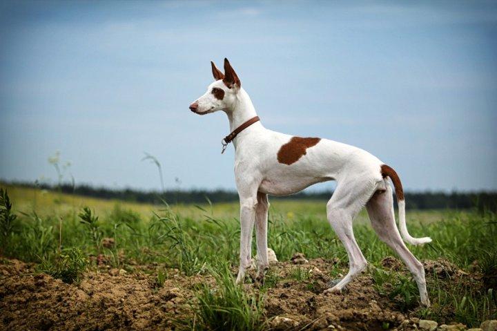 Ивисская собака фото