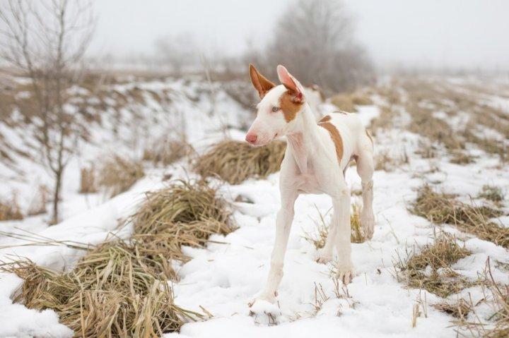 Ивисская собака щенки