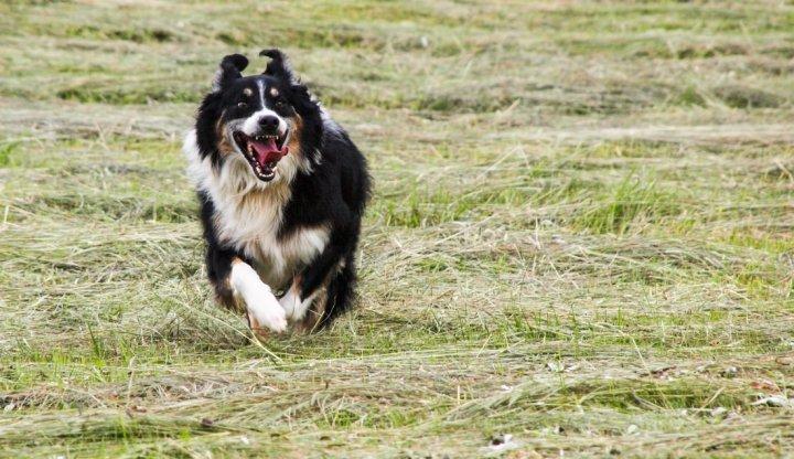 Английская овчарка фото