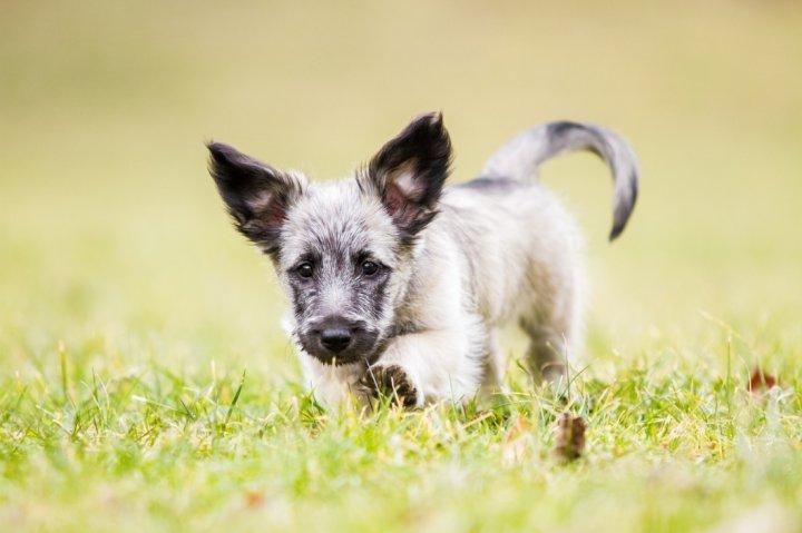 Шотландский терьер щенки