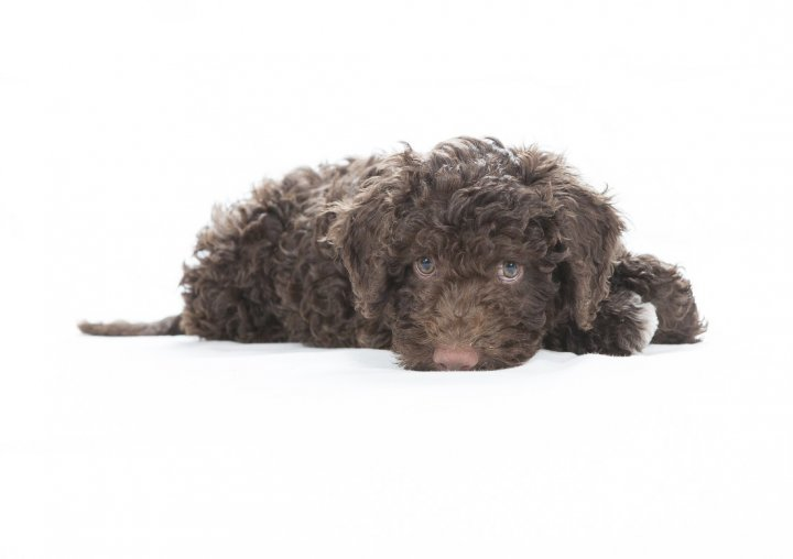 Лаготто романьоло щенки