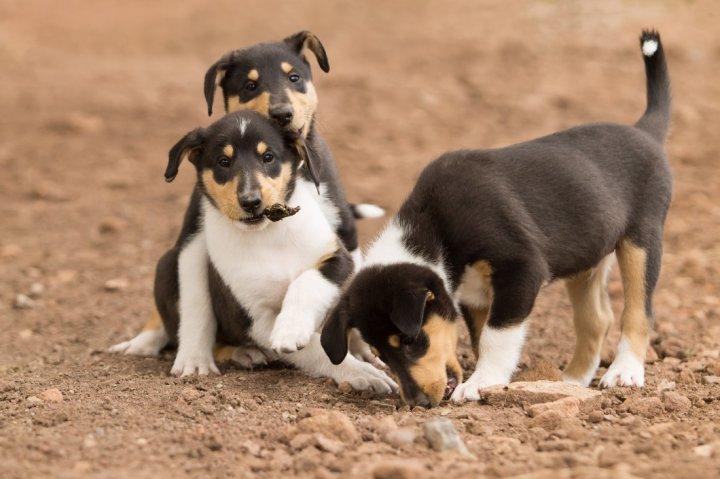 Короткошёрстный колли щенки