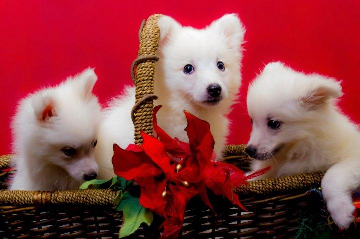 Американская эскимосская собака щенки