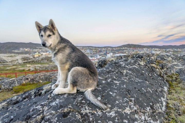 Северная Инуитская собака щенки