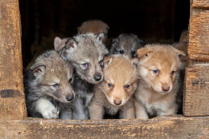 Волчья собака Сарлоса щенки