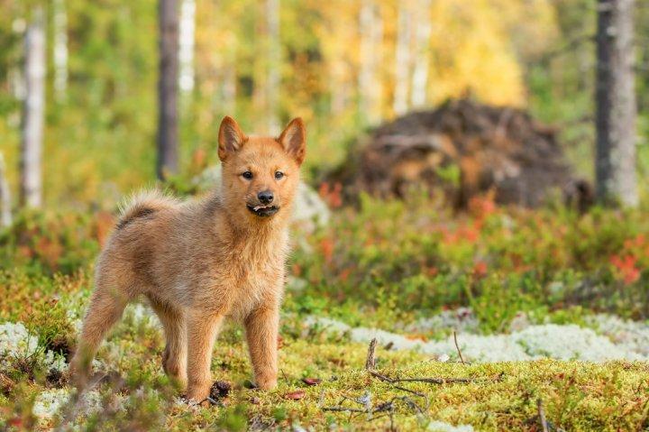Финский шпиц щенки