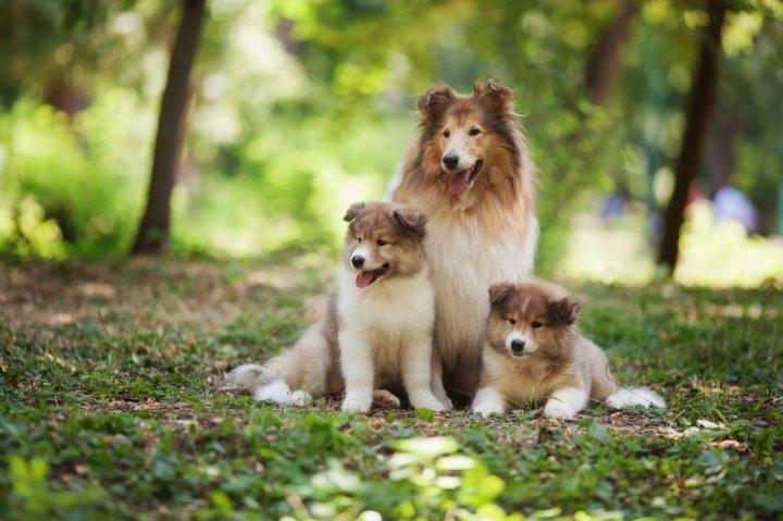 Длинношёрстный колли щенки
