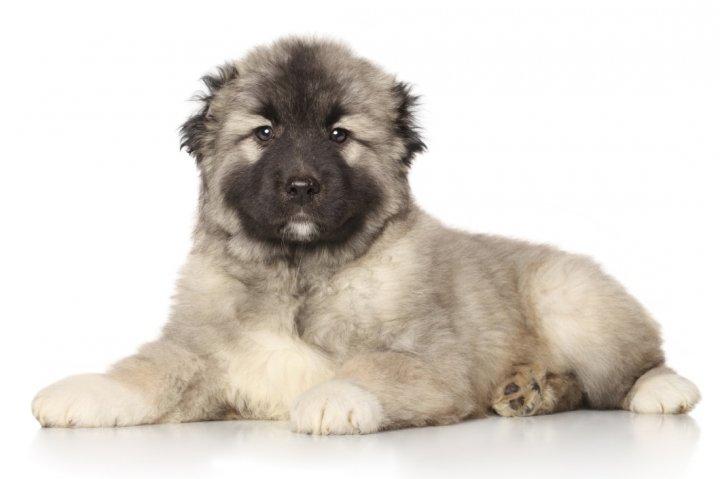 Среднеазиатская овчарка щенки