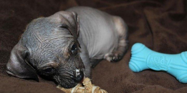 Голая собака инков щенки