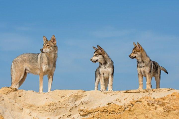 Тамасканская собака щенки