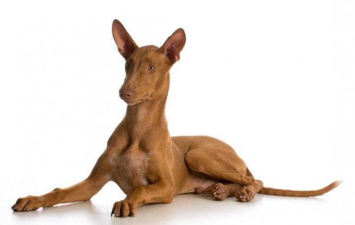 Фараонова собака щенки