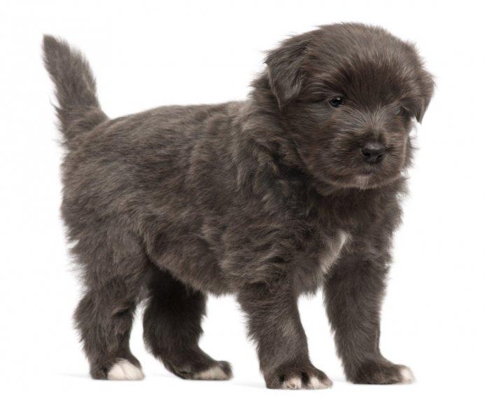 Пиренейская овчарка щенки