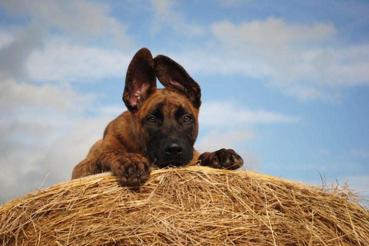 Голландская овчарка щенки