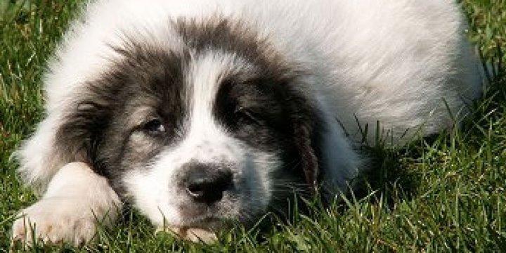 Буковинская овчарка щенки