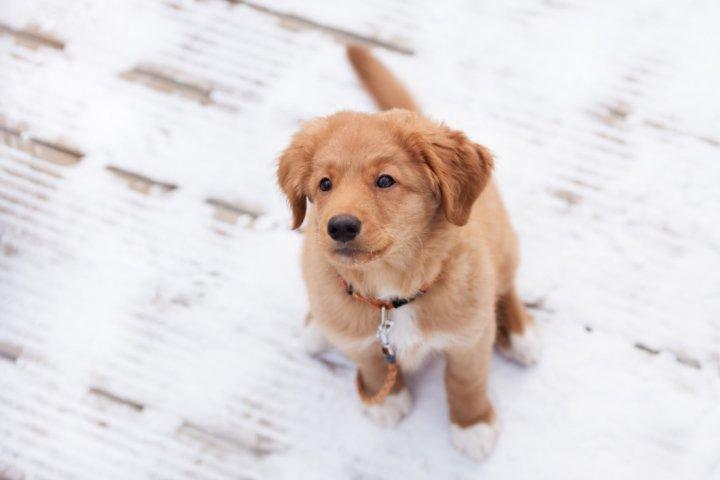 Новошотландский ретривер щенки