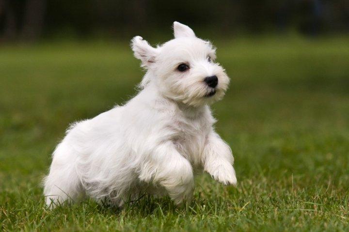Силихем-терьер щенки