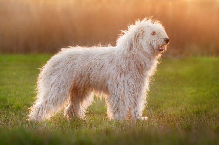 Южнорусская овчарка фото