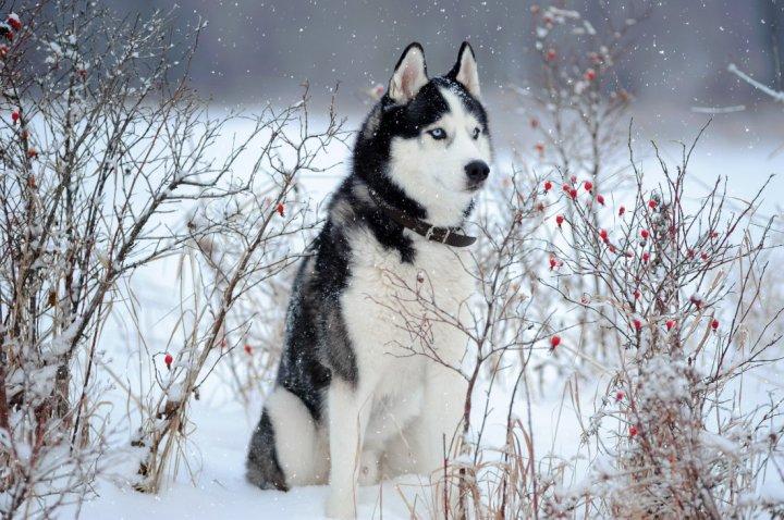 Сибирский хаски фото