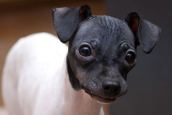 Японский терьер щенки