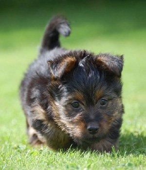 Австралийский терьер щенки