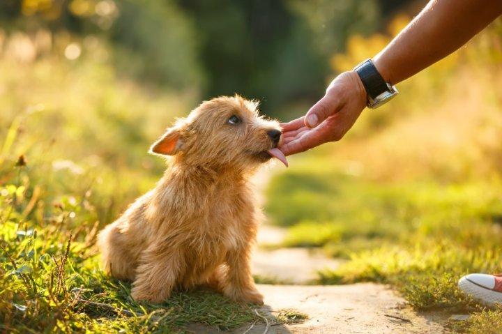 Норвич-терьер щенки