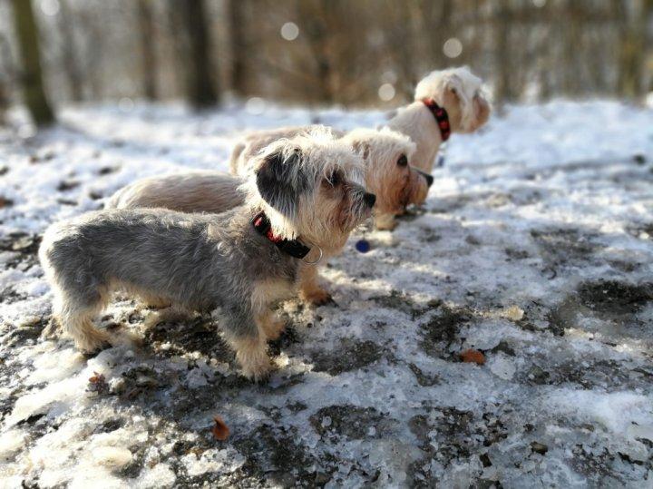 Денди-динмонт-терьер щенки